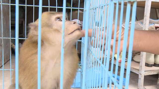 他把猕猴从小养大,割爱送往救助站