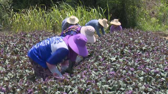 湖南人的紫苏,能和香菜硬刚的美食