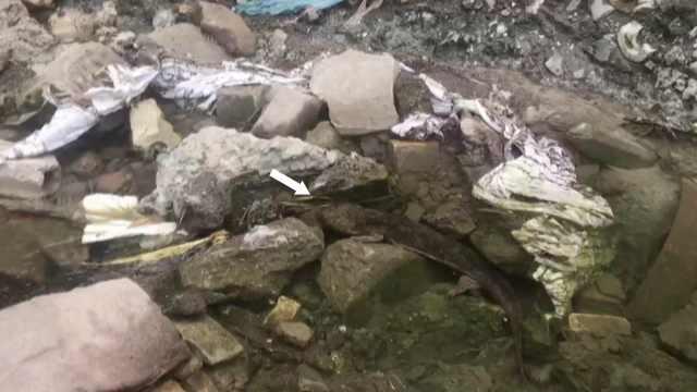 保安巡视发现野生娃娃鱼,守护5小时