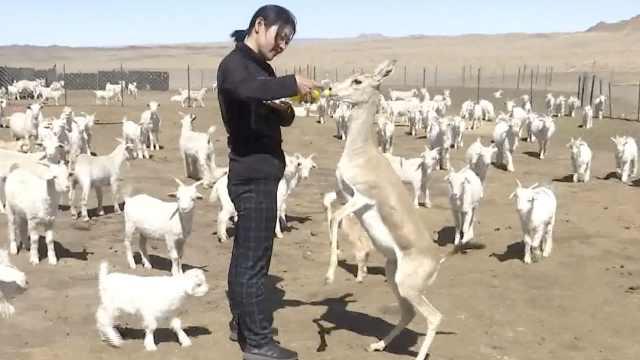 鹅喉羚被救与羊为伴,数次放归失败