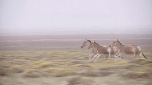 牧民一声喊,10头濒危野驴随他回家