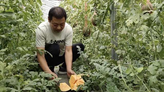 他种100亩橙瓤西瓜,胡萝卜素高20倍
