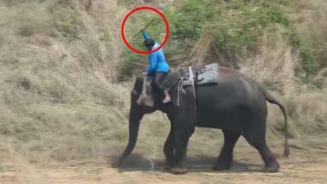 伤痕累累,尼泊尔驯象师虐待大象