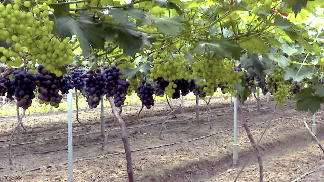 一根藤上两季果,葡萄亩产超8000斤
