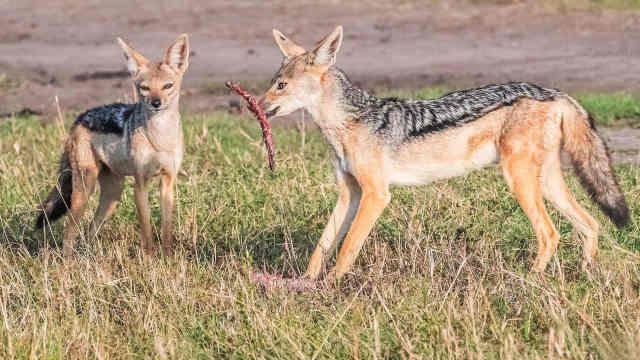 草原卫士——胡狼