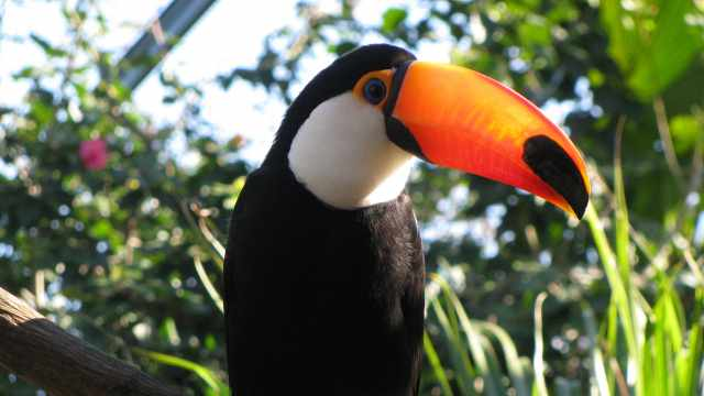 拥有一对大嘴巴还爱唱歌的巨嘴鸟