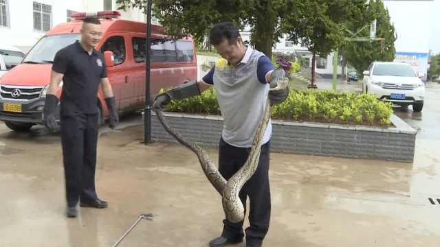 大蟒蛇偷吃被抓现行,慌忙吐出2只鸭