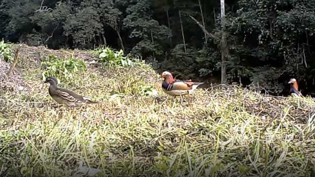 萌爆了!红外相机抓拍众多珍稀动物