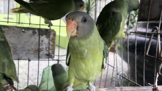回家了!84只鹦鹉被捕,放归唱歌致谢