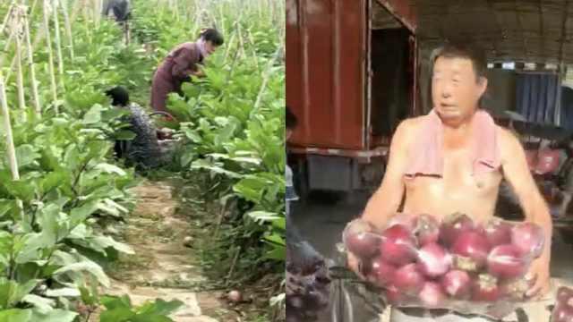菜农2千亩茄子滞销,6分1斤没人要