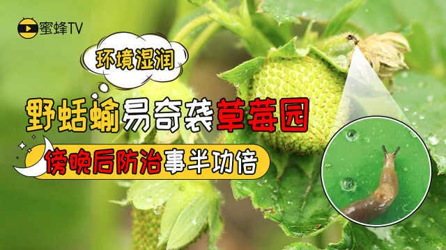 草莓园被鼻涕虫侵袭?要这样防治