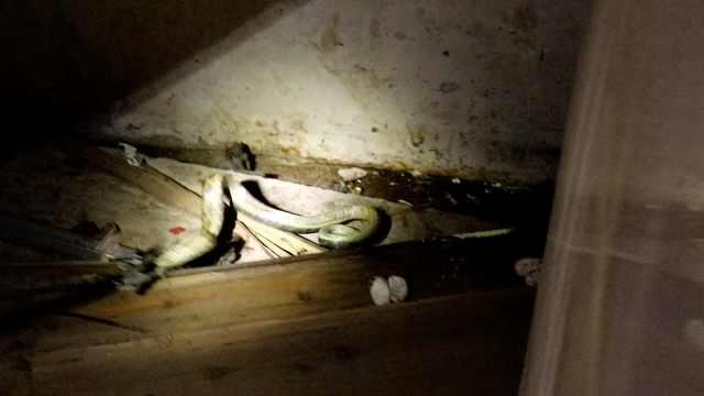 毒蛇溜进民房做窝,还生下10多颗蛋