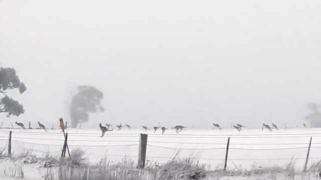 澳大利亚罕见大雪:袋鼠雪地蹦跶