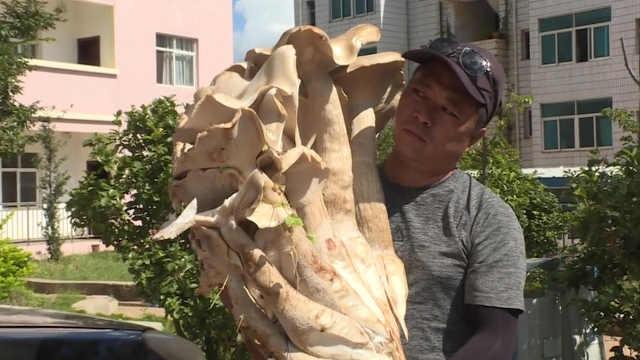 云南现200斤巨型蘑菇,菌脚粗过大腿