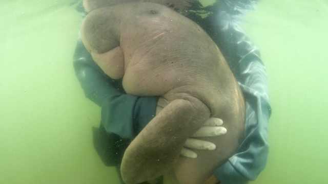 泰国海洋网红儒艮丧命,胃里有塑料