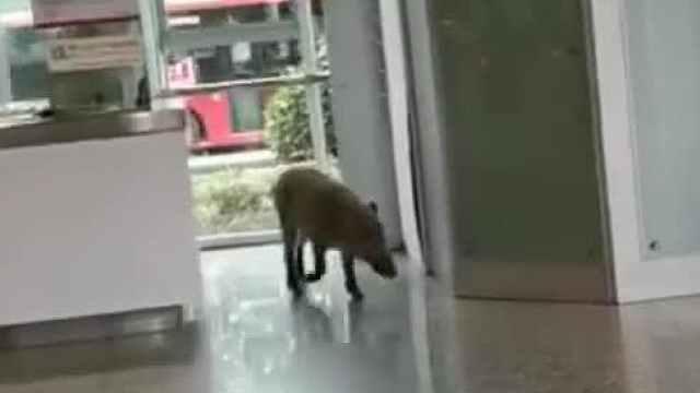 野猪撒欢,跑进了南京地铁站