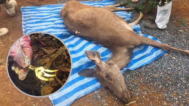 泰野鹿死亡,胃里有3公斤塑料垃圾