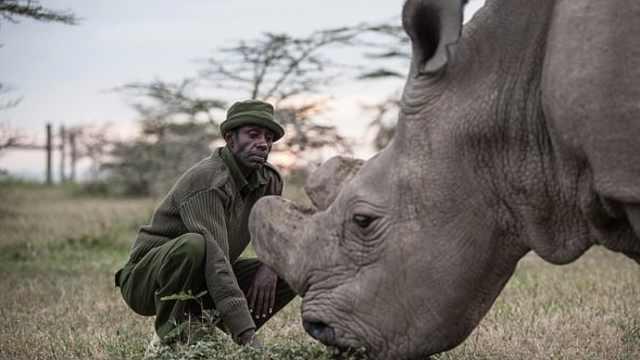 濒临灭绝的北部白犀牛有望重回自然