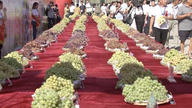 吐鲁番的葡萄熟了,220种葡萄比