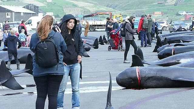 血色捕鲸:12分钟94头鲸鱼遭屠杀