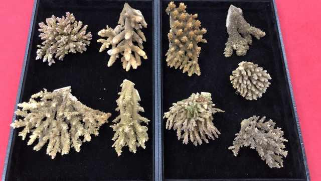 女子携9株珊瑚入境被查,属濒危物种