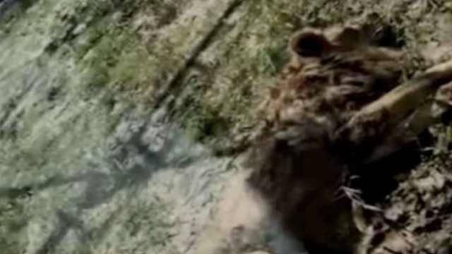 曝動物園兩獅子骨瘦如柴,園方回應