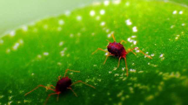 最有效的红蜘蛛综合防控方法