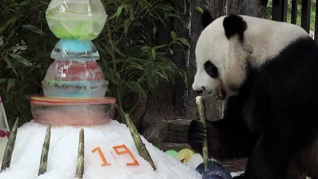旅泰19岁大熊猫创创死前刚进食过