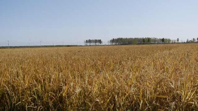 南方人黑土地种稻米,生吃也很香甜