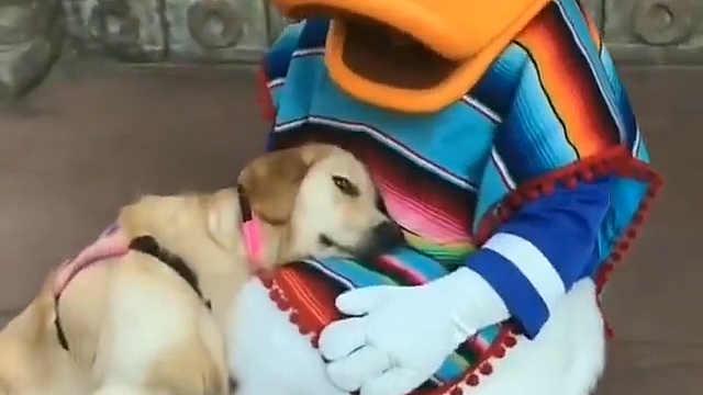 服务犬在迪士尼遇到了最喜欢的鸭鸭