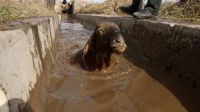 增强抗病力,新疆昭苏61万只羊药浴