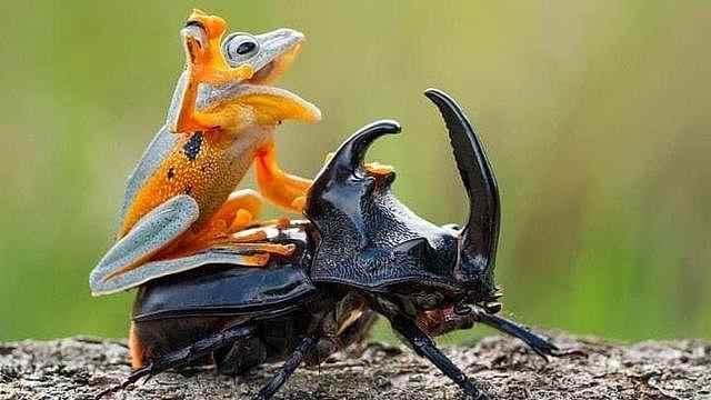 凶残昆虫幼崽天生就敢袭击青蛙