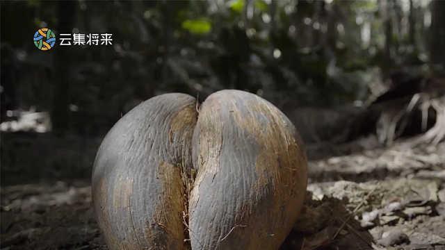 世界上最大种子的果实竟然是国宝