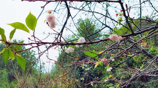 被天气搞晕!湖南怀化也有樱花开放