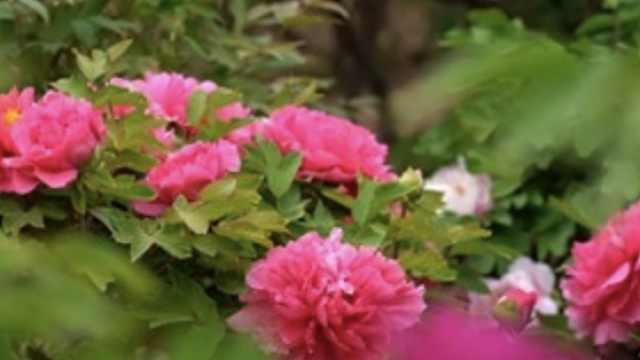 牡丹花开满城香,万众唱响致富歌