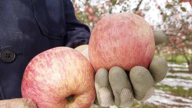 冰雹砸坏6万斤苹果,果农1元1斤甩卖