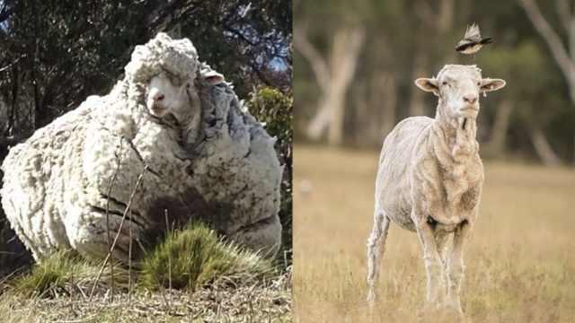 全球毛最重的羊去世:曾剃40公斤毛