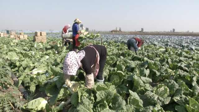韩国泡菜危机,山东大白菜紧急救场