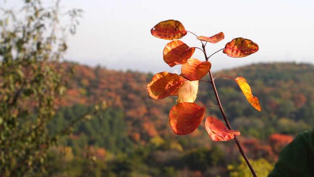 77岁老太登山1小时百望山观赏红叶