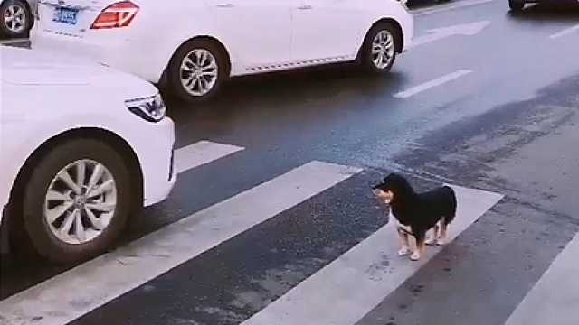 好棒的小狗,过马路知道等红绿灯