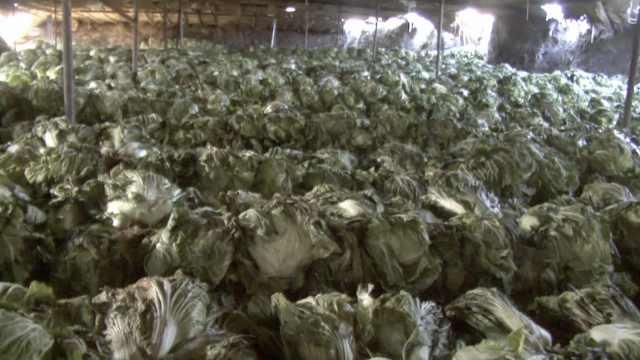 全村挖500口大菜窖存蔬菜:价高再卖