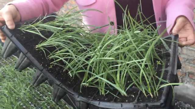 """可移动的""""菜园"""":一年能长10茬菜"""