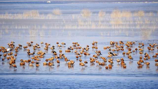 6千只!亚洲最大沙漠水库迎候鸟越冬