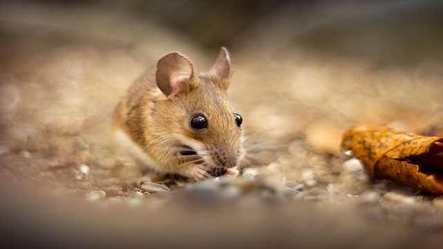 什么是鼠疫,被感染会出现什么症状
