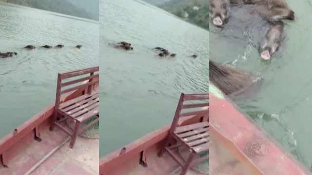 8只野猪横跨汉江,村民开船