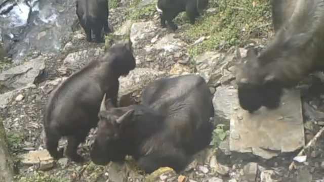 珍贵!怒江首次拍到高黎贡羚牛影像
