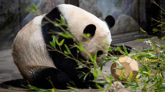 直播:难说再见!旅美大熊猫贝贝回国