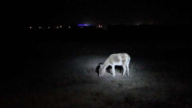 蒙古国降雪降温,野驴溜进中国找食
