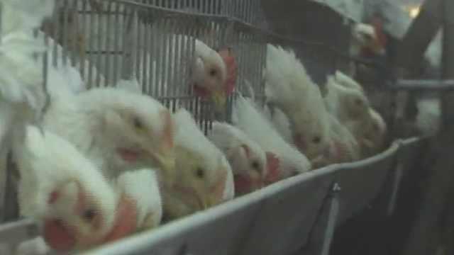 养殖场给鸡放音乐:专曲专用防炸群