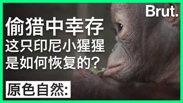 偷猎中幸存的小猩猩,这样被救活